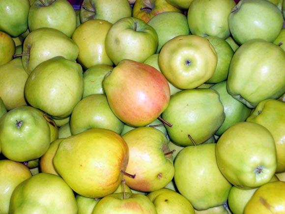 בזכות השמיטה היתום אכל פירות ארץ ישראל