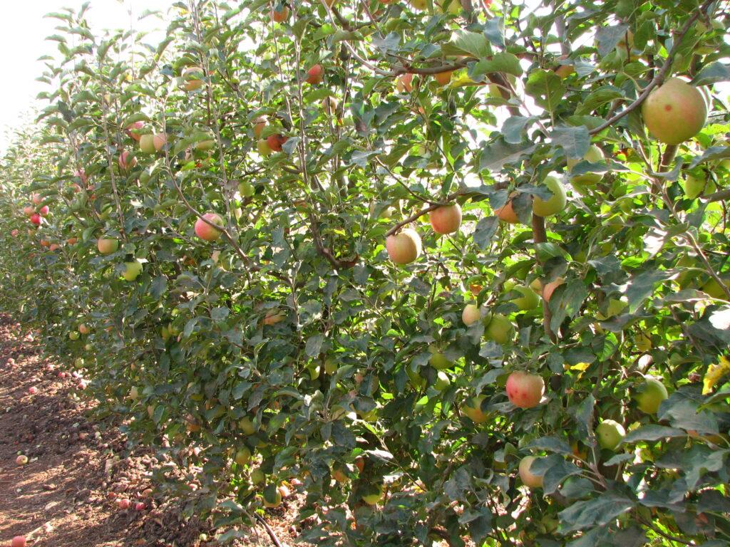 הפסד פירות שביעית