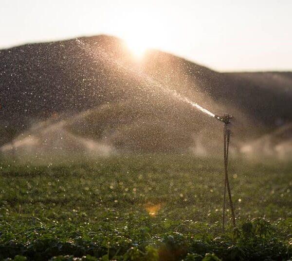זיבול, ריסוס והשקיה בשמיטה