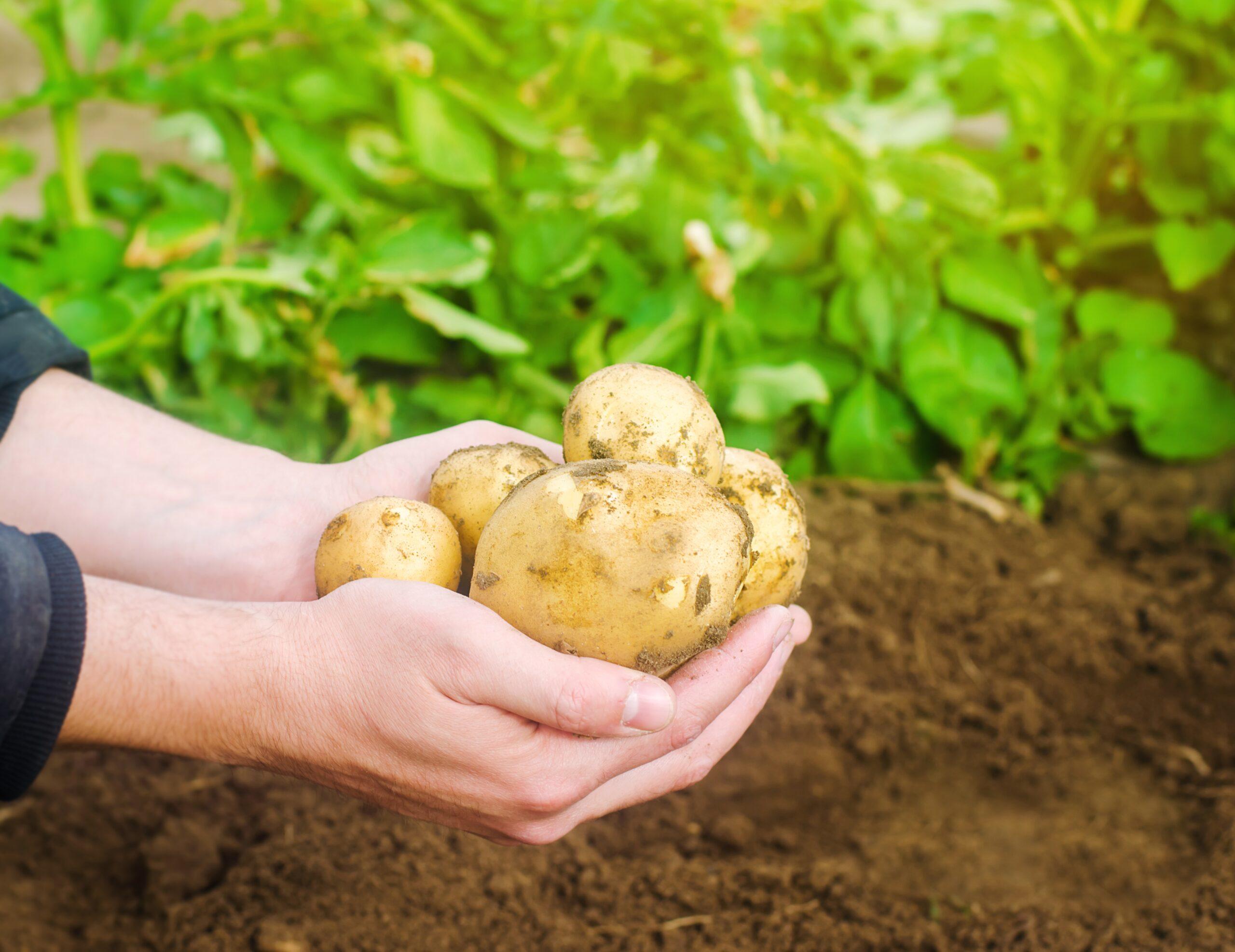 נס תפוחי האדמה
