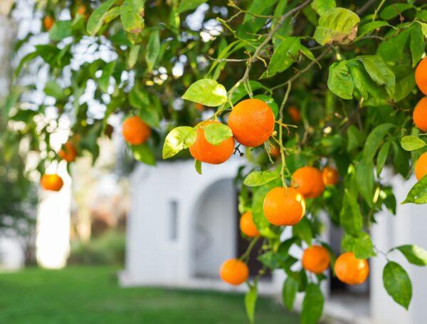 השימוש הראוי בפירות שביעית