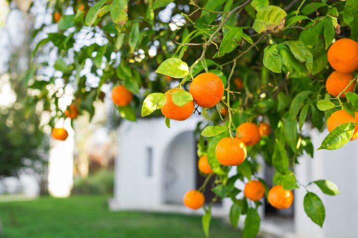שימוש בפירות שביעית בשמיטה