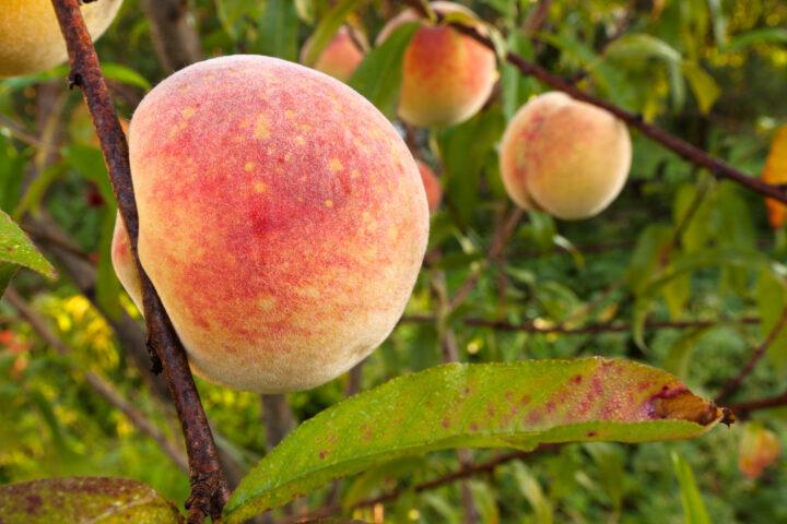 אפרסקים פי ארבע