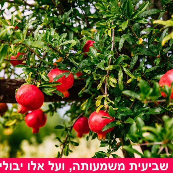 קדושת שביעית משמעותה, ועל אלו יבולים חלה