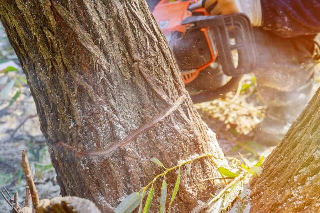 האם מותר לגזום עצים בשמיטה?