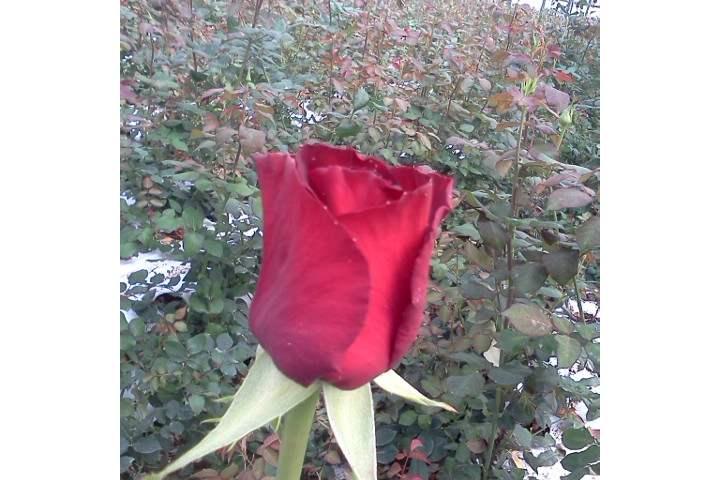 ורד לוולי רד