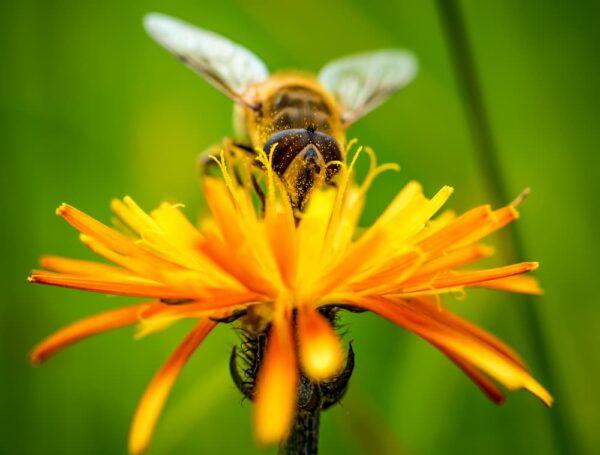 קדושת שביעית בפרחים המיועדים לריח ובדבש דבורים